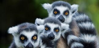 Evrenin Sırrını Lemurlar Çözecek!