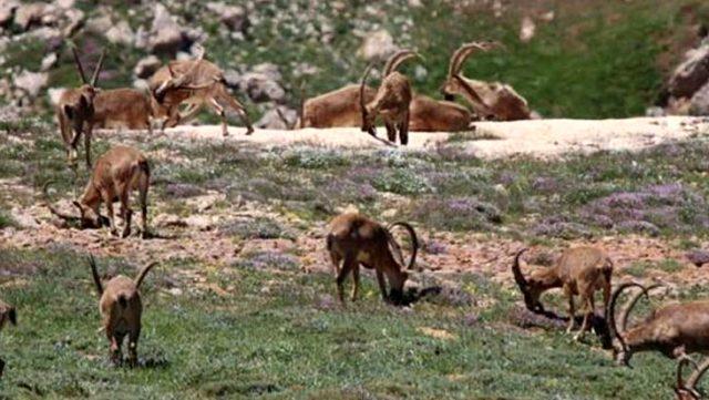 Tepki çeken dağ keçilerinin avlanma ihalesi iptal edildi