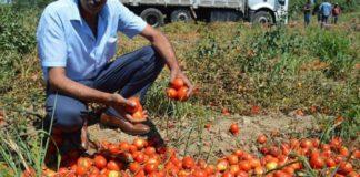 Maliyetini kurtaramayan domates tarlada çürümeye bırakıldı