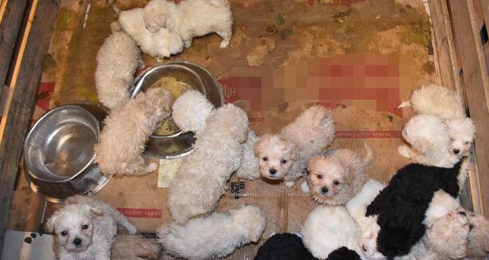 Romanya'dan gelen otobüsün bagajında 23 yavru köpek ele geçirildi