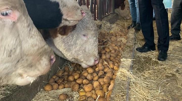 Üreticinin satamadığı patates hayvan yemi oldu