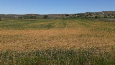 Ankara Bala'da kuraklık tahıl alanlarında yüzde 70 ürün kaybı yaşattı