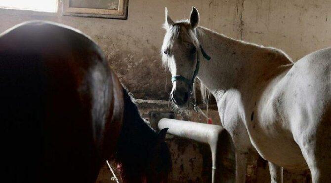İBB kayıp at iddialarına yanıt verdi