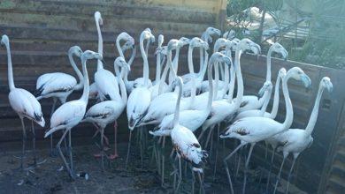 Kanatları kesilen 32 flamingo yavrusu için para cezası