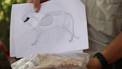 Kayseri'de Kaniş Karum Ören yerinde 4 bin yıl öncesine ait aslan kemiği bulundu