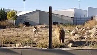Kayseri hayvanat bahçesi ile ilgili skandal iddia: 16 kurt bahis için ayının üzerine salındı